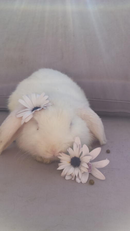 Pet Sitter in Perth offers stunning rabbits for sale