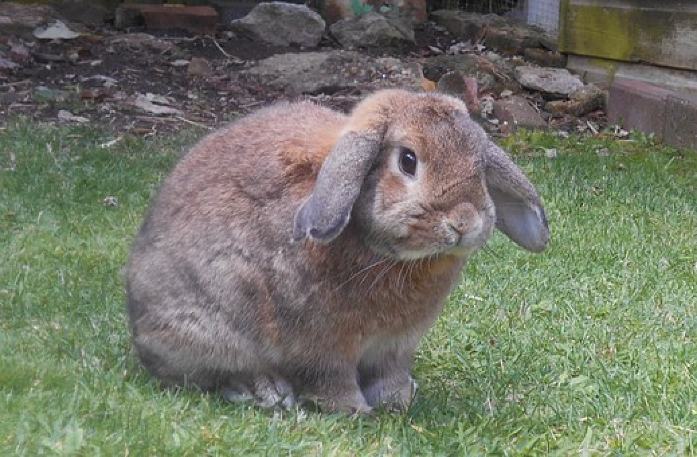 Available at pet sitter Perth- Fluffy Angora Rabbit for sale